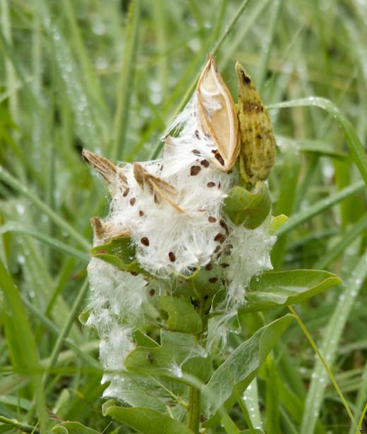 Milkweed Pod After a Rain