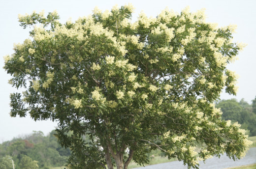 Western Soapberry Tree