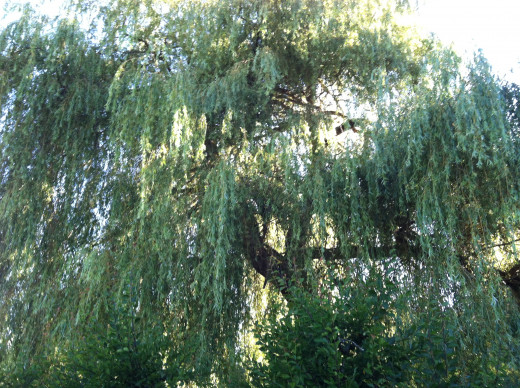 The Legend of Sleepy Willow