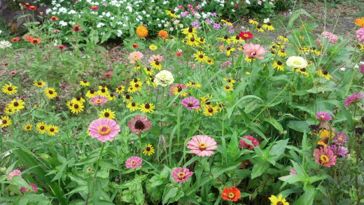 June 29, Zinnias, Black eye susans, Dahlias and Periwinkles