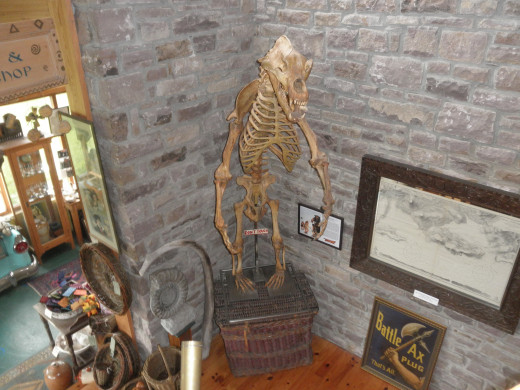 The cave bear skeleton inside the museum.