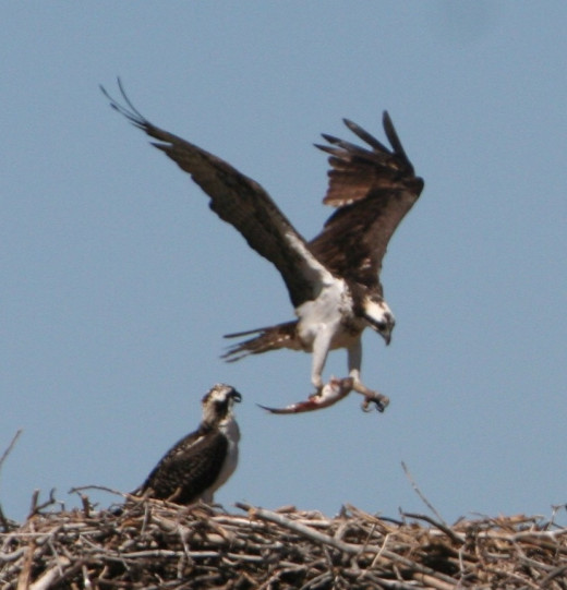 Sometimes predators have to work pretty hard to catch their food. The osprey lives on fish, but only catches a meal one out of every four tries.