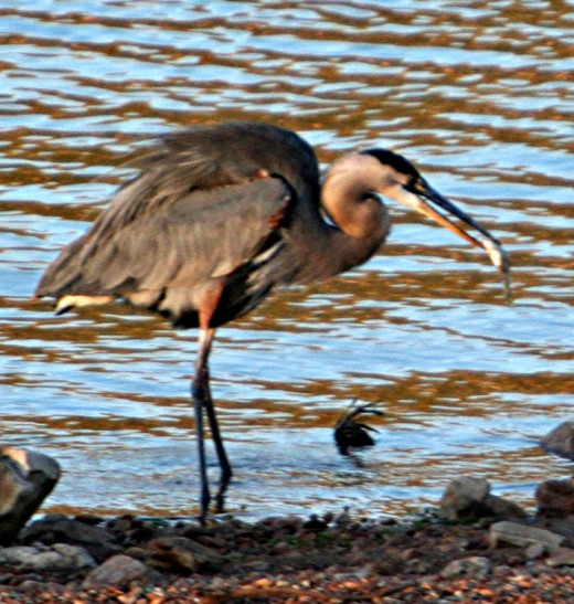 The blue heron will catch a lot more prey than an osprey, but it will be much smaller.