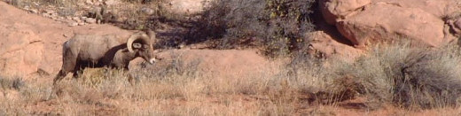 This desert bighorn ram used coloration similar to the area he lives in to avoid detection.