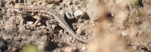This lizard is darker on the top and lighter on the bottom. This tends to make an animal look flatter.