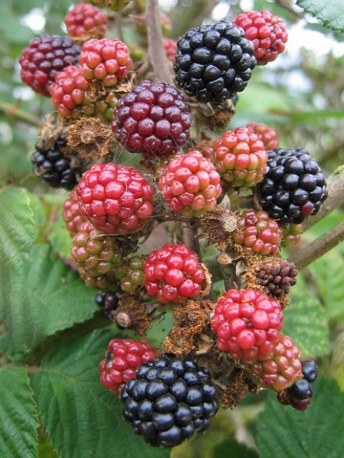 Berries turning purple (black).
