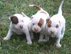 Pit Bull Puppies...Precious!