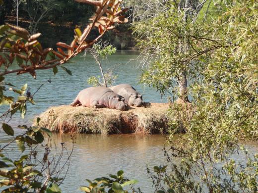 Hippos sun tanning