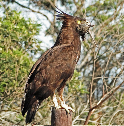 Longcrested Eagle with lunch