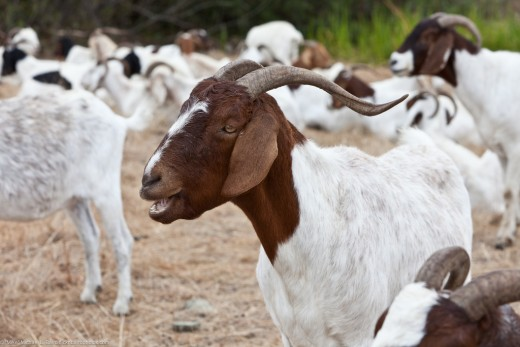 Goats are family oriented and need approval from others.