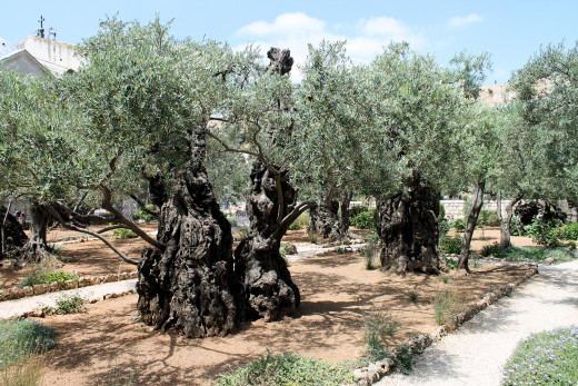 The Garden of Olives, Jerusalem, Israel. Some of these trees are over 2,000 years old.