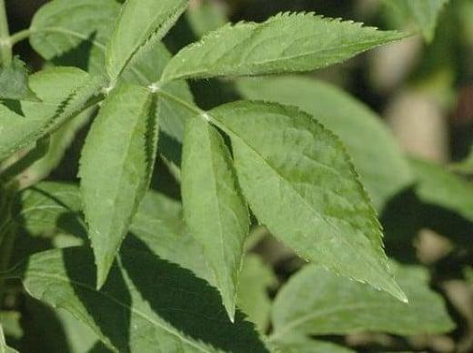 Leaves of Elderberry
