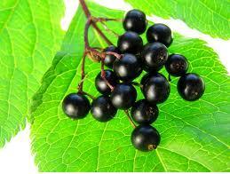 Fruits of Elderberry