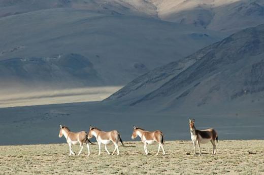 Tibetan ass at Moriri Lake
