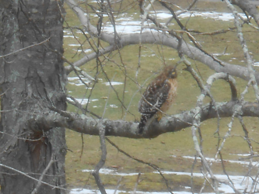 A hawk in a tree in the backyard.