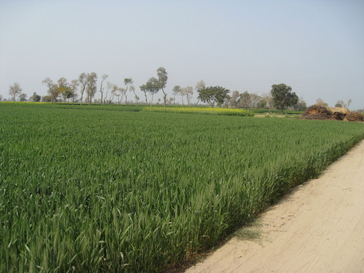 Wheat fields, Punjab