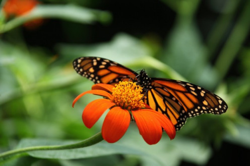 Blendon Woods supports a national Monarch BUtterfly Research Program.