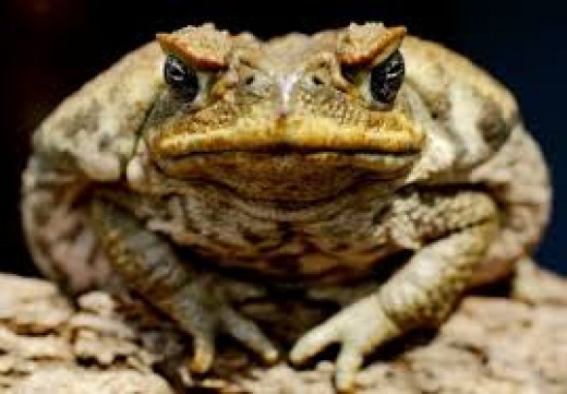 The saying is that if a person touches a toad they will get warts. False.