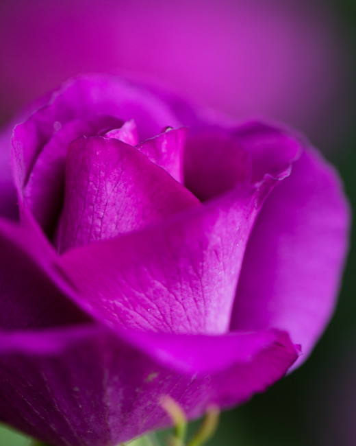 A purple rose with intense color and soft shadows.
