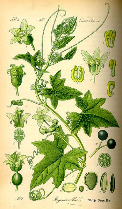 Dr.Thome's Flora 1885, permission courtesy of Kurt Stueber Public domain