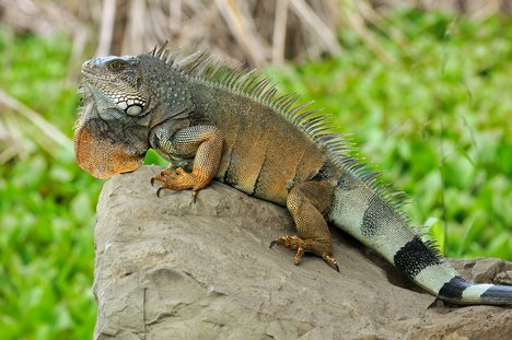 iguanas need lots of sunshine