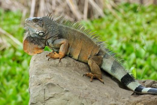 iguanas need lots of sunshine