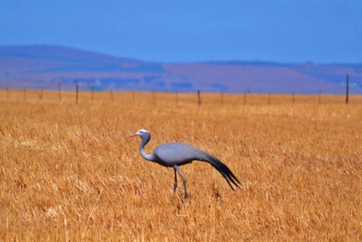 Nature © Inge Olivier (South Africa's national bird: The Blue Crane)