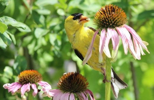 Commencement of Molting - A male goldfinch with a seed in its beak perched on a flower stalk in a backyard in Whitby, Ontario, Canada.