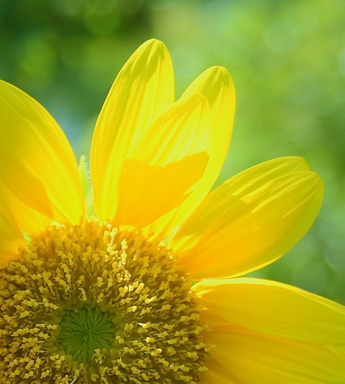 Sunflowers are primarily grown for their seeds and the oil from their seeds.