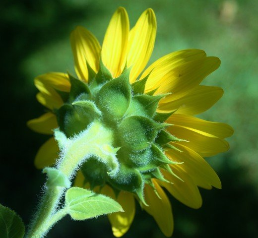 "Here's a pretty ""volunteer"" sunflower in our front yard."