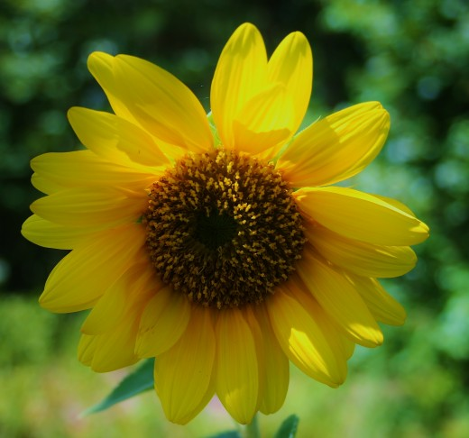 Sunflowers can be used as animal food, people food, sunblock and even fuel!