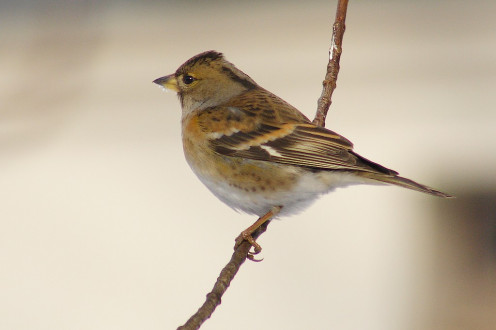 English: A female Brambling in the town of Wieruszów, Poland.