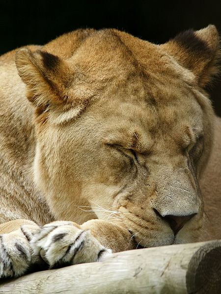 Leo the Lion resting