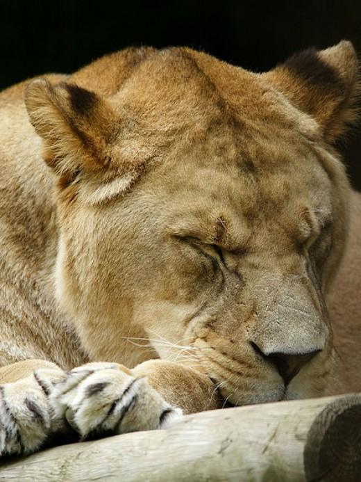 Leo the Lion resting