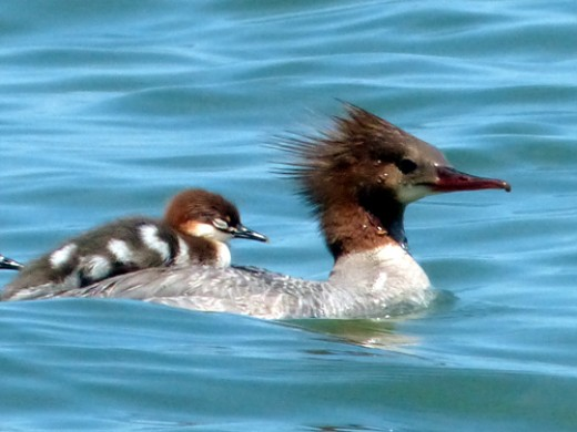 Photo of Common Merganser by Lisa Howard.