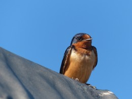 Photo of barn swallow by Lisa Howard