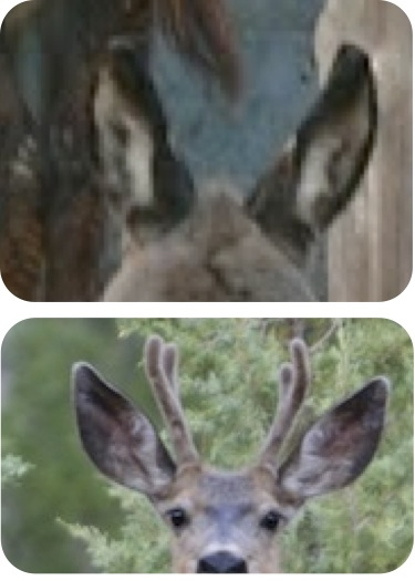 The ears of the young mule deer on the right look a lot like those of the young burro on the left. The scientific name for mule deer is Odocoileus hemionus. The species name hemionus means half mule.