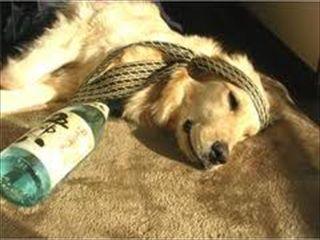 a dog drunk sake:)