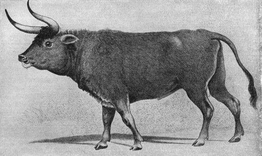 Painting thought to either depict an aurochs, a cattle/aurochs cross, or simply an aurochs like cattle breed. This painting is a copy of the original that was present at a merchant in Augsburg in the 19th century. The original probably dates from the