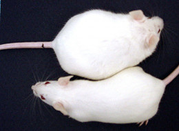 The only difference between these mice: The one at the top was exposed at birth to a tiny amount of an endocrine-disrupting chemical.