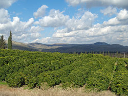 250px-Lemon_Orchard_in_the_Galilee
