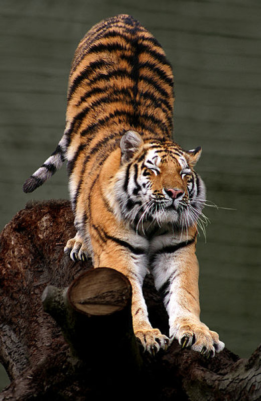 The Siberian Tiger is on the list of the top ten most endangered animals