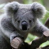 Jaded Koala profile image