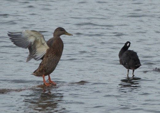 Mallard and American Coot(Right)