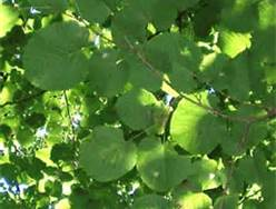 The leaves of a Basswood tree.
