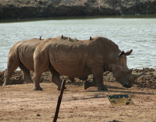 Rhino in Hlane Game Reserve-with Red -billed Oxpecker in attendance