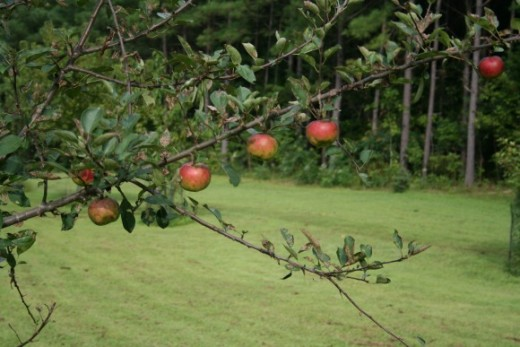 Apples thinned on a branch.