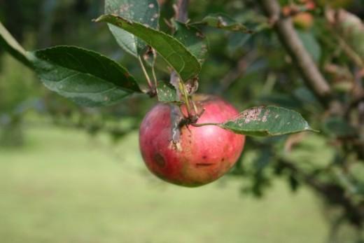 Organic apple in my garden.
