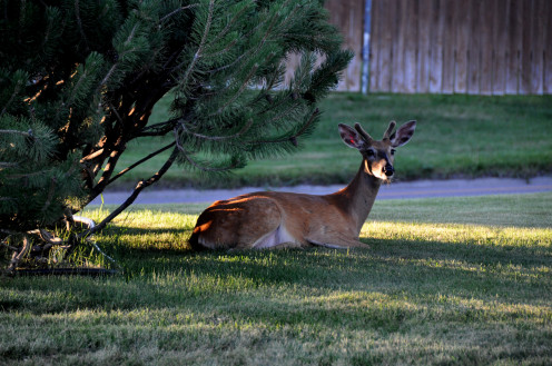 A friend and I drove around Missoula one evening and photographed the deer as they lounged in lawns, parks and along city streets.