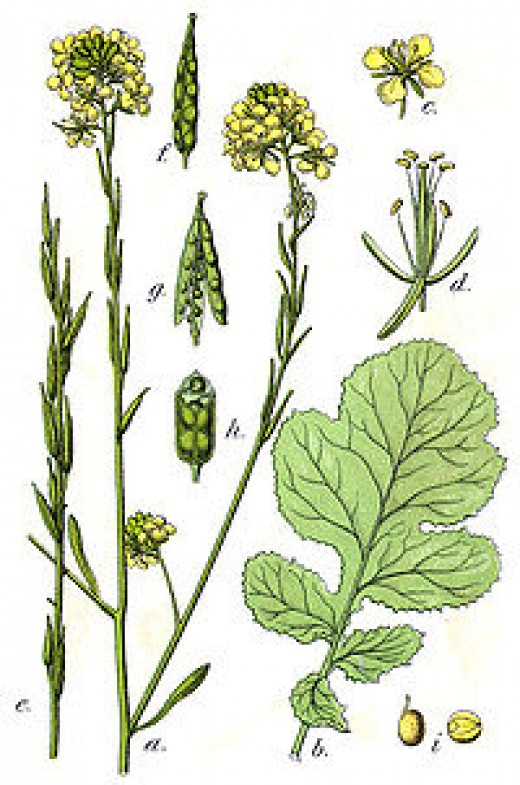 200px-Brassica_nigra_Sturm38.jpg